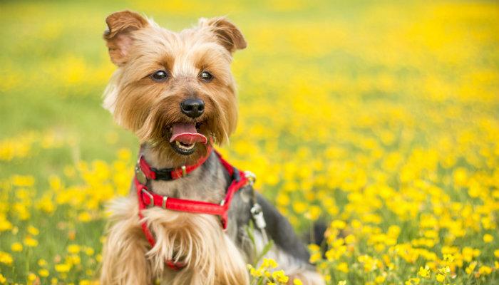 Cachorro yorkshire da fundadora da Simple Dog em gramado