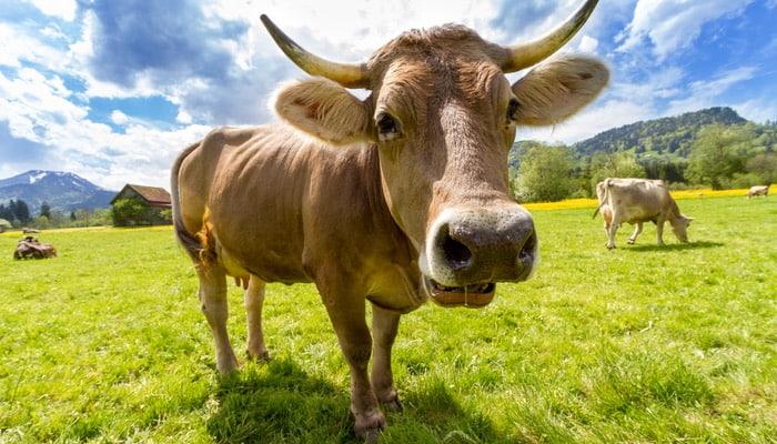 Foto de vaca, representando a vaca leiteira da matriz BCG